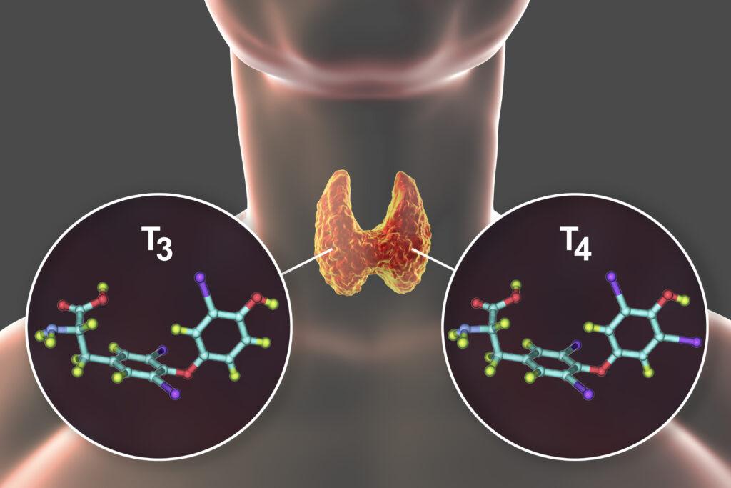 The Thyroid, Hypothyroidism, & Hyperthyroidism Explained